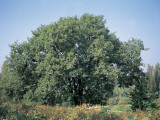 Oak Tree in the Forest Photographic Print by A. Curzi