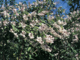 Low Angle View of Fuzzy Pride-Of-Rochester Flowers (Deutzia Scabra) Photographic Print by C. Delu