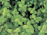 Close-Up of Oregano Plants (Origanum Vulgare) Photographic Print by M. Cerri