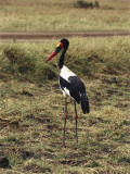 Saddle Billed Stork in a Field, Kenya (Ephippiorhynchus Senegalensis) Photographic Print by F. Galardi