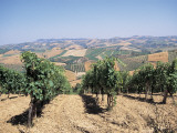 Vine Trees Growing in a Vineyard, Marches, Italy Photographic Print by A. Curzi