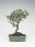 Close-Up of an Olive Bonsai Tree (Olea Europaea) Photographic Print by C. Dani