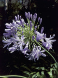 Close-Up of Agapanthus Flowers Photographic Print by D. Dagli Orti