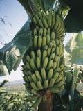 Bananas Growing on a Tree (Musa Paradisiaca) Photographic Print by A. Curzi
