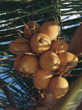 Low Angle View of Coconut Palm Trees (Cocos Nucifera) Photographic Print by A. Curzi