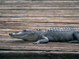 Side Profile of an Alligator, Louisiana, Usa Photographic Print by W. Buss