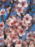 Close-Up of Peach Blossom Flowers (Prunus Persica) Photographic Print by S. Montanari