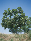 Low Angle View of a Common Fig Tree (Ficus Carica) Photographic Print by A. Curzi