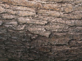 Close-Up of a Red Alder Tree Plank Photographic Print by S. Montanari