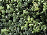 High Angle View of a Common Ivy (Hedera Helix) Photographic Print by C. Delu