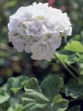 Close-Up of Horseshoe Geranium Plant (Pelargonium Zonale) Photographic Print by M. Cerri