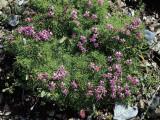 High Angle View of Moss Campion Flowers Growing on Rocks (Silene Acaulis) Photographic Print by C. Delu