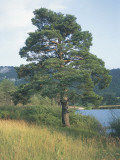 Scots Pine on a Landscape (Pinus Sylvestris) Photographic Print by A. Laurenti