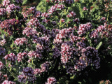 Close-Up of Oregano Flowers (Origanum Vulgare) Photographic Print by C. Delu