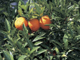Close-Up of Sour Oranges Hanging from a Tree (Citrus Aurantium) Photographic Print by S. Montanari