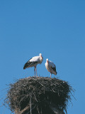 Low Angle View of Storks in a Nest, Ungersheim, Alsace, France Photographic Print by W. Buss