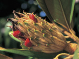 Close-Up of a Bull Bay Tree (Magnolia Grandiflora) Photographic Print by C. Sappa