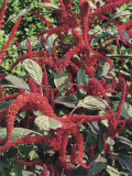 Close-Up of a Prince-Of-Wales Feather Plant (Amaranthus Hypochondriacus) Photographic Print by C. Delu