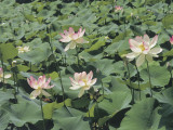 Close-Up of Sacred Lotuses (Nelumbo Nucifera) Photographic Print by R. Sacco