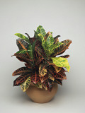 Close-Up of a Croton Plant (Codiaeum Variegatum) Photographic Print by C. Dani