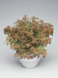 Close-Up of a Trailing Coleus Plant (Coleus Pumilus) Photographic Print by C. Dani