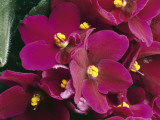 Close-Up of an African Violet Flower (Saintpaulia Ionantha) Photographic Print by C. Dani