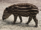 Side Profile of a Brazilian Tapir Walking (Tapirus Terrestris), Photographic Print