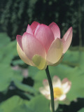 Close-Up of a Sacred Lotus (Nelumbo Nucifera) Photographic Print by R. Sacco