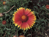 Close-Up of a Blanket Flower (Gaillardia) Photographic Print by C. Delu