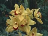 Close-Up of Cymbidium Hybrid Orchid Flowers Photographic Print by C. Sappa