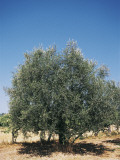 Olive Tree Growing in a Field (Olea Europaea) Photographic Print by A. Curzi