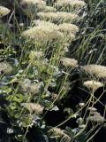 Close-Up of Valerian Flowers (Valeriana Alliariifolia) Photographic Print by C. Delu