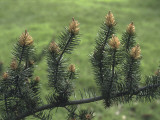 Close-Up of a Pine Tree Photographic Print by C. Sappa