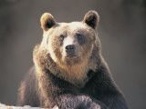 Close-Up of a Brown Bear, Abruzzo National Park, Abruzzi, Italy (Ursus Arctos) Photographic Print by G. Carfagna