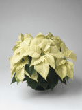 Close-Up of a Poinsettia Plant (Euphorbia Pulcherrima) Photographic Print by C. Dani