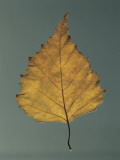 Close-Up of a Leaf of European White Birch (Betula Pendula) Photographic Print by A. Dagli Orti