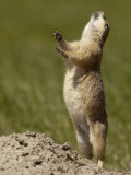 South Dakota, Badlands National Park, This Blacktail Prairie Dog Raises Up on His Hind Legs Photographic Print by G. Richard Kettlewell