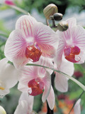 Close-Up of Moth Orchids (Phalaenopsis) Photographic Print by F. Rotta