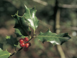 Close-Up of Holly Leaves with Berry (Ilex Aquifolium) Photographic Print by C. Sappa