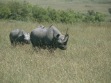 Black Rhinoceroses with its Calf in the Forest, Masai Mara National Reserve, Kenya Photographic Print by F. Galardi