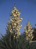 Low Angle View of Moundlily Yucca Flowers (Yucca Gloriosa) Photographic Print by A. Curzi