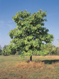 Northern Catalpa Tree on a Landscape (Catalpa Speciosa) Photographic Print by C. Delu