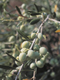 Close-Up of Olives on a Tree (Olea Europaea) Photographic Print by M. Cerri
