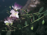Close-Up of Caper Flowers, Salina Island, Sicily, Italy Photographic Print by S. Montanari
