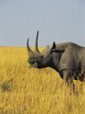 Black Rhinoceros in the Forest, Masai Mara National Reserve, Kenya (Diceros Bicornis) Photographic Print by F. Galardi
