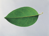 Close-Up of a Glossy Privet Leaf (Ligustrum Lucidum) Photographic Print by A. Dagli Orti