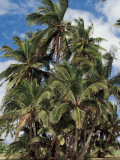 Low Angle View of Coconut Palm Trees (Cocos Nucifera) Photographic Print by C. Dani