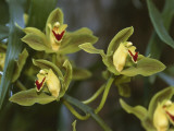 Close-Up of Flowers of a Cymbidium Hybrid Orchid Photographic Print by S. Montanari