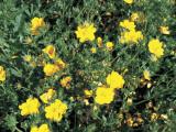 Close-Up of Sulphur Cinquefoil Plant with Flowers (Potentilla Recta) Photographic Print by A. Moreschi