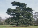 Cedar of Lebanon Tree on a Landscape (Cedrus Libani) Photographic Print by C. Sappa